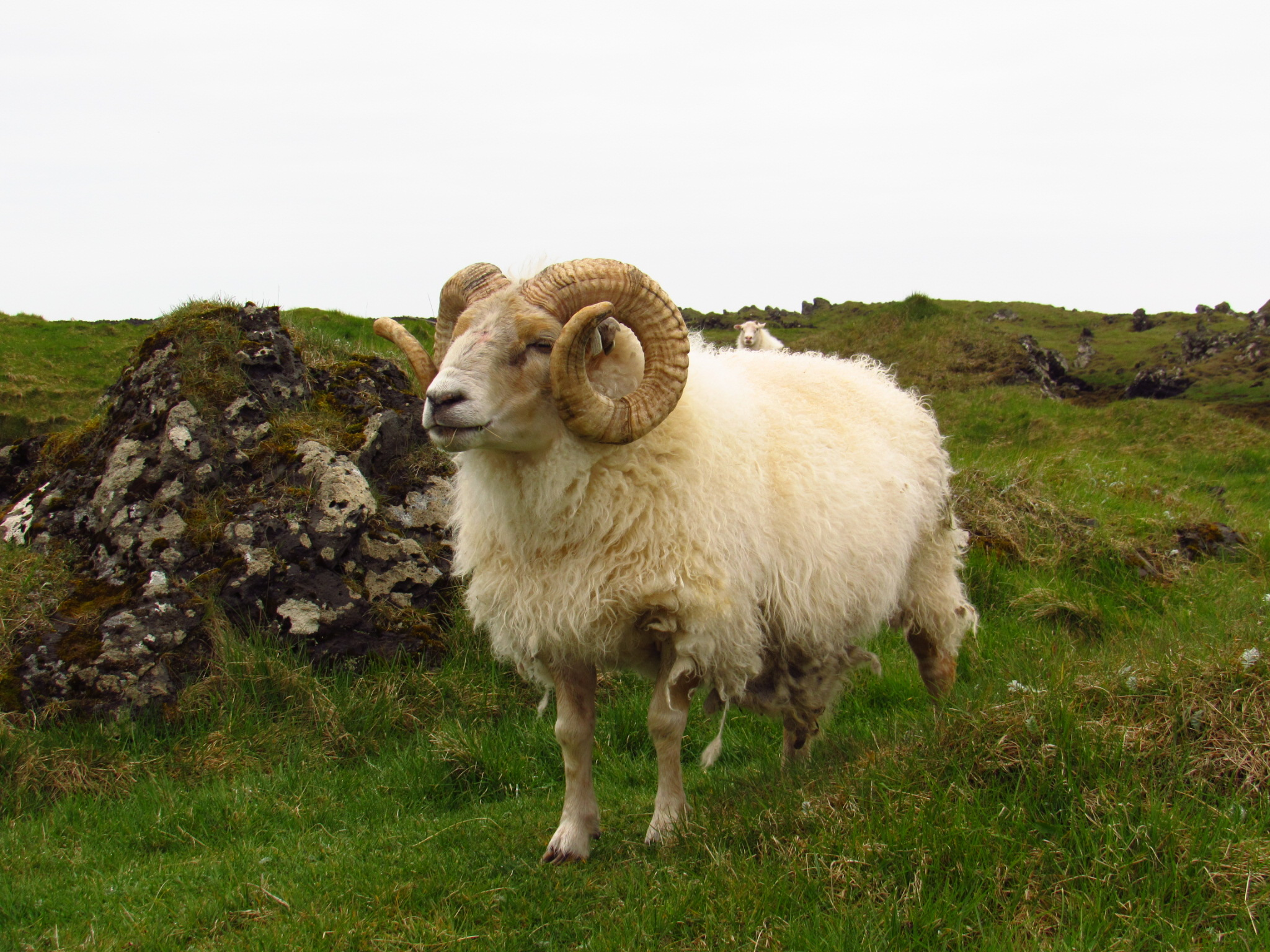 Ram, Iceland